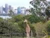 Tolle Giraffen