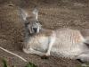 Chiller-Kangaroo